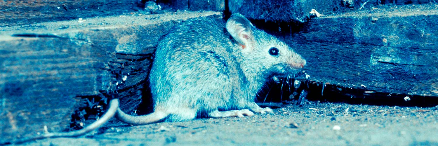 Does Spray Foam Keep Out Mice